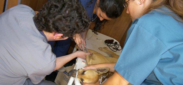 Comuna capitalina realizó más de 900 castraciones de animales en distintos barrios