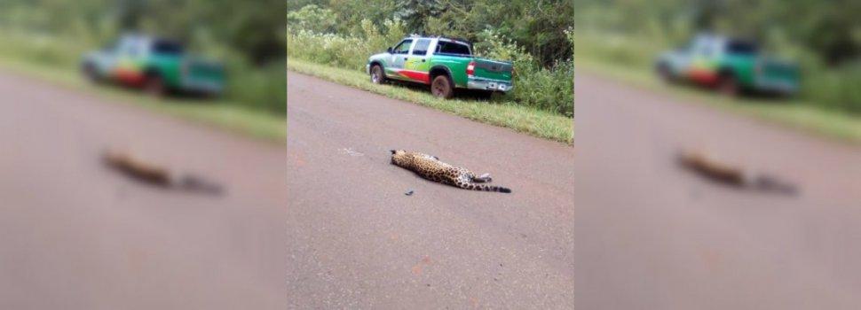 Lo condenaron a pagar 500 mil pesos por atropellar a una yaguareté preñada