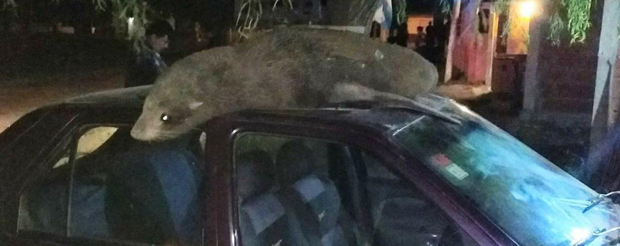 Salió a la puerta y se encontró un lobo marino en el techo de su auto
