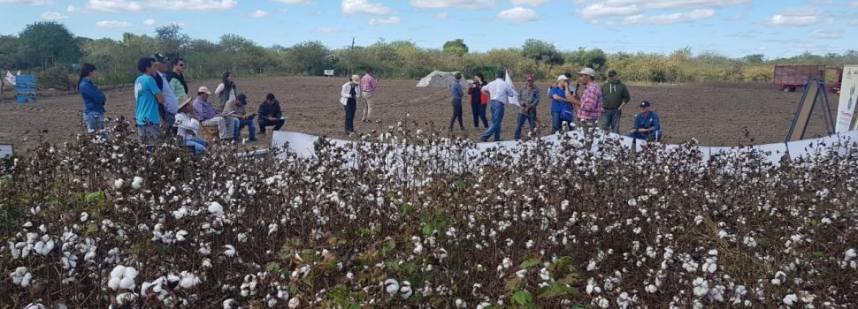 Jornada demostrativa en cosecha de algodón